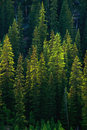 Green Pine tree Forest