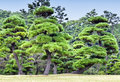 Green pine trees in a forest Royalty Free Stock Photo