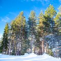 Green pine trees and snow path on the blue sky Royalty Free Stock Photo