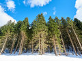 Green Pines Snow Royalty Free Stock Photo