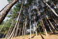 Green pines Royalty Free Stock Photo