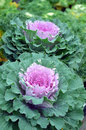 Green and pink kale nutritious growing in garden Stock Photo