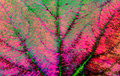 Green and pink leaf veins background texture. Royalty Free Stock Photo