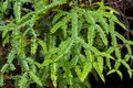 Green Pitchfork fern, old world forked fern growing in forest at Royalty Free Stock Photo