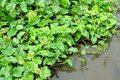 Green plant background water hyacinth on the Stock Photo