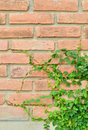 Green plant on brick wall Royalty Free Stock Photo