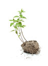 Green plant grow in the soil isolated Royalty Free Stock Photos