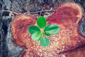 Green plant growing on the bole of a tree cut off top view Royalty Free Stock Images