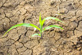 Green plant growing on the dry dead soil land in desert Royalty Free Stock Photo