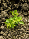 Green plant growing trough dry soil Royalty Free Stock Images