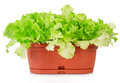Green plant in pot isolated on white background Royalty Free Stock Photos