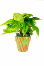 Green Plant in Stripped Planter Stock Images