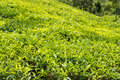 Green plantation of ceylon tea fresh field at nuwara eliya sri lanka Royalty Free Stock Photo
