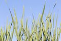 Green plants growing on lake shore (reeds or rushes) Royalty Free Stock Photo