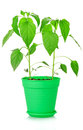Green plants in pot isolated on white background Royalty Free Stock Image