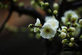 Green plum blossom on the trees photo taken on Stock Image