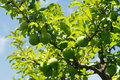Green plum fruits on a plum tree Royalty Free Stock Photos