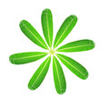 Green plumeria leaf. Royalty Free Stock Photos