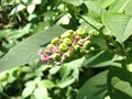 Green poke berries unripe in the summer Stock Image