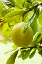 Green pomelo on tree branch Royalty Free Stock Photo