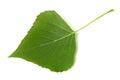 Green poplar leaf