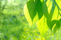 Green poplar leaves on defocused background Stock Image