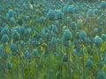 Green poppy head unripe papaver somniferum l field at sunset Stock Photo