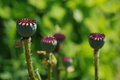 Green poppy heads. Royalty Free Stock Photo