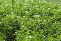 Green potato bushes blooming white on the plantation. Maturation of the future harvest. Agrarian sector of the agricultural indust