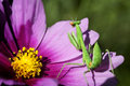 Green praying mantis a on petals of pink cosmos flower Royalty Free Stock Image