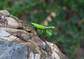 Green praying mantis religiosa is sitting on the rock Royalty Free Stock Photos