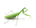 Green preying mantis isolated religiosa on white background Royalty Free Stock Photography