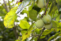 Green prunes in a prune tree Royalty Free Stock Photos