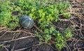Green pumpkin forgotten during harvest Royalty Free Stock Photo