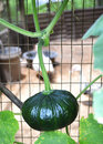 Green pumpkin growing on a stem Stock Photo