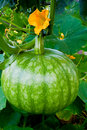 Green Pumpkin on Vegetable Patch Stock Photos