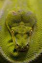 Green python Royalty Free Stock Images