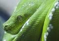 Green python snake Royalty Free Stock Photo