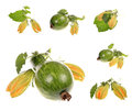 Green raw pumpkin with leaves isolated on white background Royalty Free Stock Images