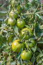 Green raw tomatoes in the garden Royalty Free Stock Photo