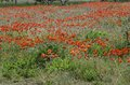 Green and red beautiful poppy flower field background. Royalty Free Stock Photo