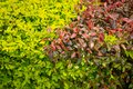 Green And Red Bushes Intermingled With Each Other