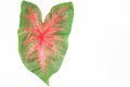 Green red caladium leaves isolated on white background Royalty Free Stock Photo