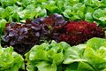 stock image of  Green and red fresh leaf Lettuce