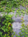 Green and red ivy on old cement wall and door Royalty Free Stock Photo