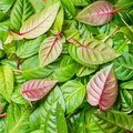 Green and red leaves of fuchsia as background closeup Stock Images