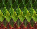 Green and red leaves from poinsettia Royalty Free Stock Photo