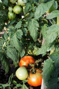 Green and red tomatoes growing Stock Image
