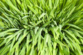Green Reed Background Stock Image