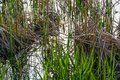 Green Reed and Cattail on a Lake. Royalty Free Stock Photo